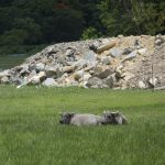 Buffalos and construction waste on wetland